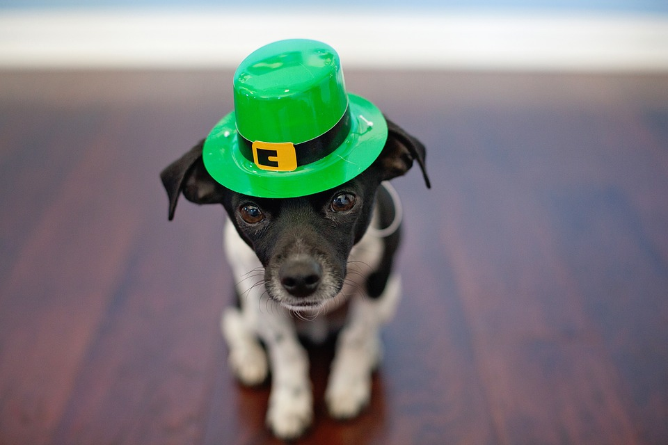 Chihuahua in St Patrick's Day Hat Ready for a Dog Friendly March Break Activity